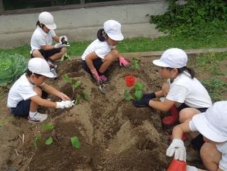 野菜苗植え.jpg